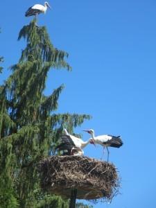 Störche sitzen in einem Nest und auf einer angrenzenden Tanne.