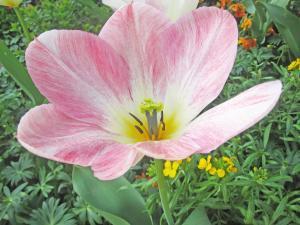 Ein Bild von einer rosafarbenen Blumenblüte.
