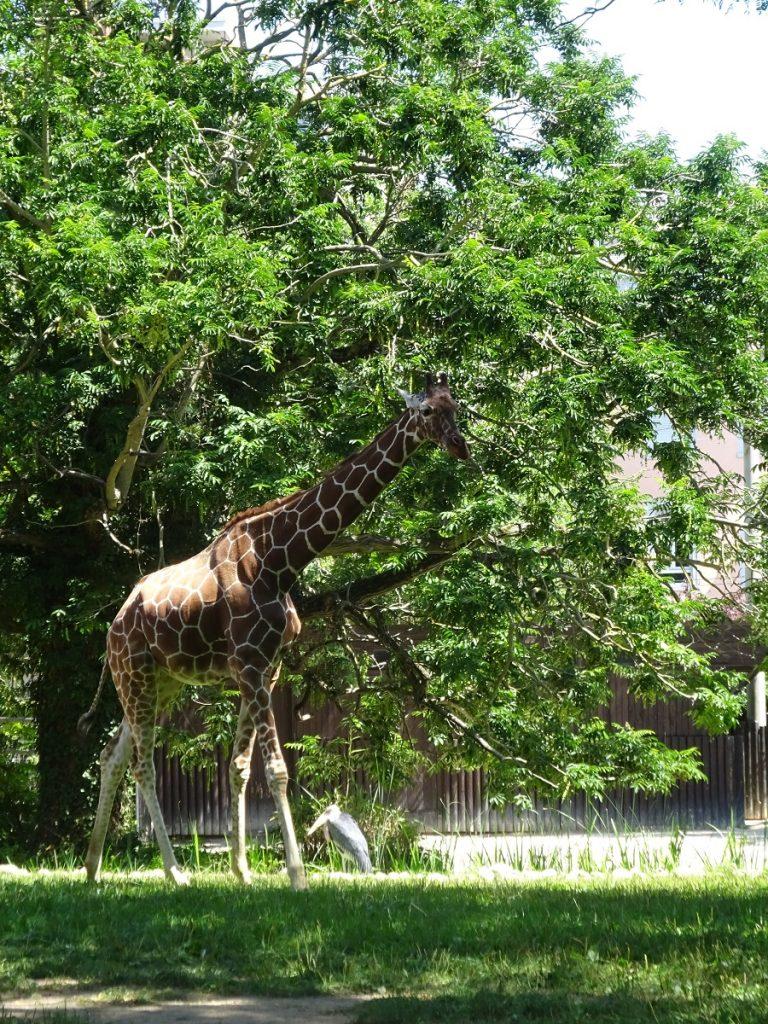 Eine Giraffe im Außengehege des Zoos